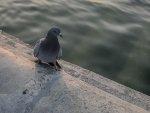 naturalne produkty dla gołębi